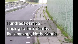 Real Footage, Hundreds of mice leaping to their deaths like lemmings, Netherlands