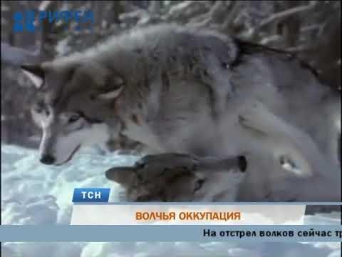 В Пермском крае стая волков загрызла четырех сторожевых псов
