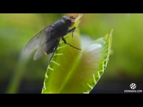 Хищное растение Венерина мухоловка ест муху Charlie Flytrap Dionaea muscipula - DIONAEAS.COM