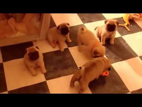 Pug Puppies Playing (cute!) - Dogs and Puppies