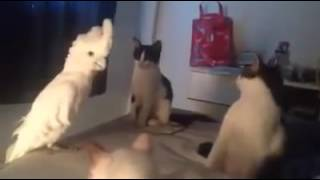 vuclip Unik , Burung Kakak Tua , ngomong dengan Kucing !
