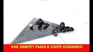 Как зимует рыба в озере Кошкино. Погружение под лёд.