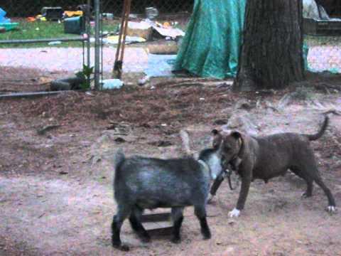 goat vs pitbull