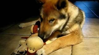 Shikoku playing with a monkey.