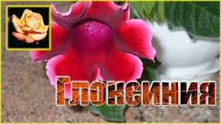 Посадка глоксинии(gloxinia). Комнатные растения.