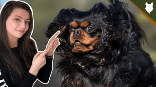 HOW MUCH EXERCISE DOES A  CAVALIER KING CHARLES SPANIEL NEED?