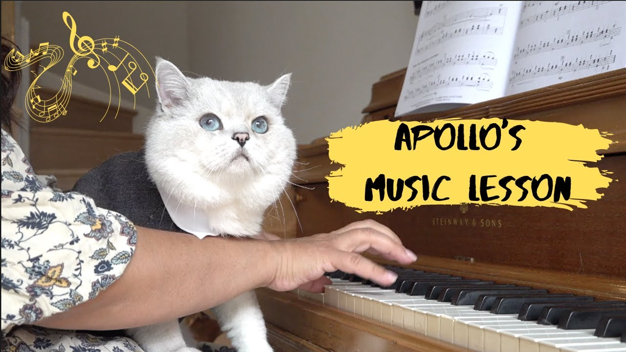 Piano and singing lesson for a big British shorthair cat Apollo