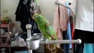 小黃帽鸚鵡唱歌我是一隻小小鳥精華版
