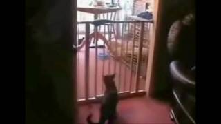 A Gassy Cat Epicly Fails Jumping Over A Baby Safety Gate Lol