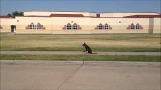 Max - Sit Stay -  Tulsa Dog Obedience Schools