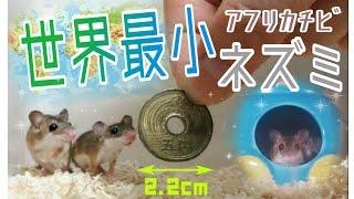 5円玉サイズ!?世界最小のネズミ🐭アフリカチビネズミの全貌!The smallest rat in the world!pygmy mouse
