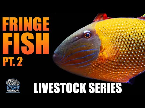 FRINGE FISH,  Pt. 2 - Trigger Fish & Harlequin Tusk Fish In Your Tank