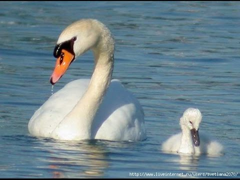 (311) гуси-лебеди