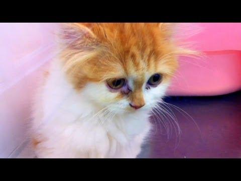 ぬこのおもしろ決闘。猫パンチの応酬は見応え有り。ぬっこぬこ。 Funny duel of cat. The reply of the cat punch is a looking answer ...