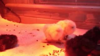 silkie chick with leg splint