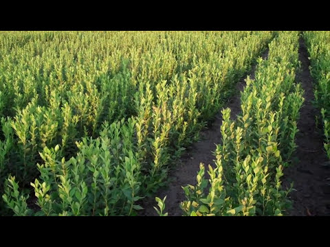 Large Blueberry Plants - DiMeo Farms & Blueberry Bushes Nursery