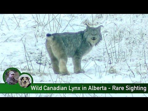 Wild Canadian Lynx In Alberta - Rare Sighting