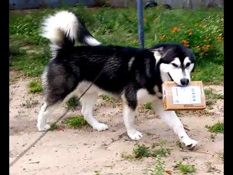 ALASKAN MALAMUTE CARRYING & UNBOXING HIS MAIL FROM HOWLING DOG ALASKA!