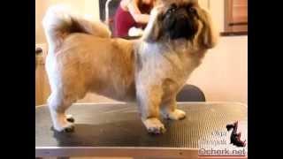 Груминг щенка пекинеса