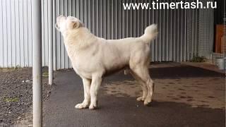 Среднеазиатские овчарки питомника Тимерташ