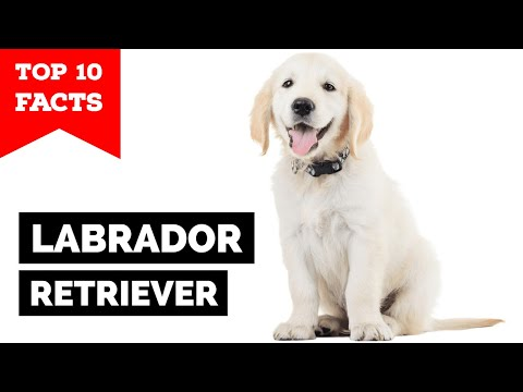 Labrador-Retriever-Top-10-Facts