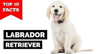 Labrador Retriever - Top 10 Facts