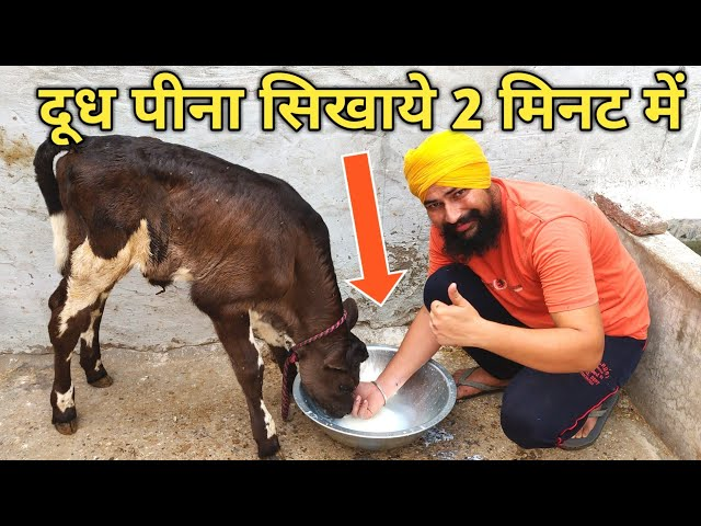 ????? ??? ??? ?????? ?? ???? ?????|HOW TO START MILK FEEDING TO CALF IN BUCKET |cow /Buffalo