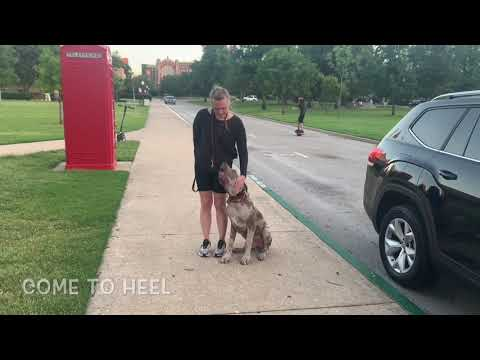 5 Month Old Great Dane | Best Great Dane Dog Training | Off Leash K9 | Board and Train | Oklahoma