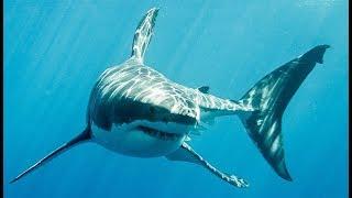 Le grand requin blanc a un camouflage inattendu - ZAPPING SAUVAGE