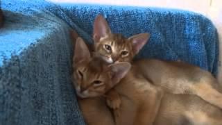 Абиссинские котята, четверо на диване в Анапе