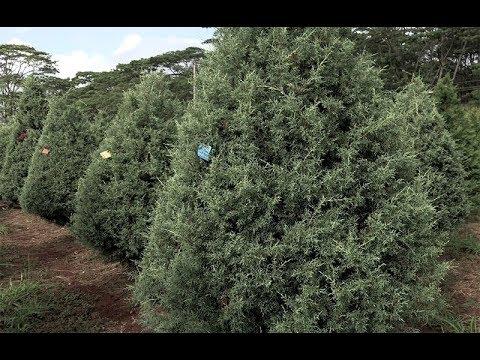HONOLULU Magazine's Christmas Tree Adventure