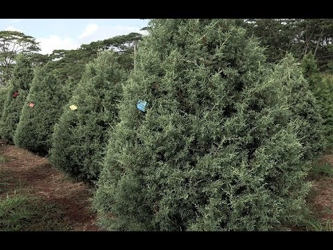 HONOLULU Magazine's Christmas Tree Adventure