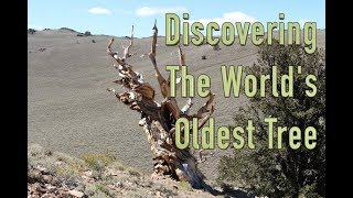 Discovering The World's Oldest Tree | Video