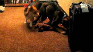 German Shepherd Dog (puppy) And Pembroke Welsh Corgi Playing