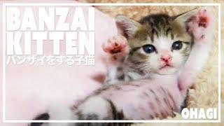 バンザイをする子猫 thumbnail