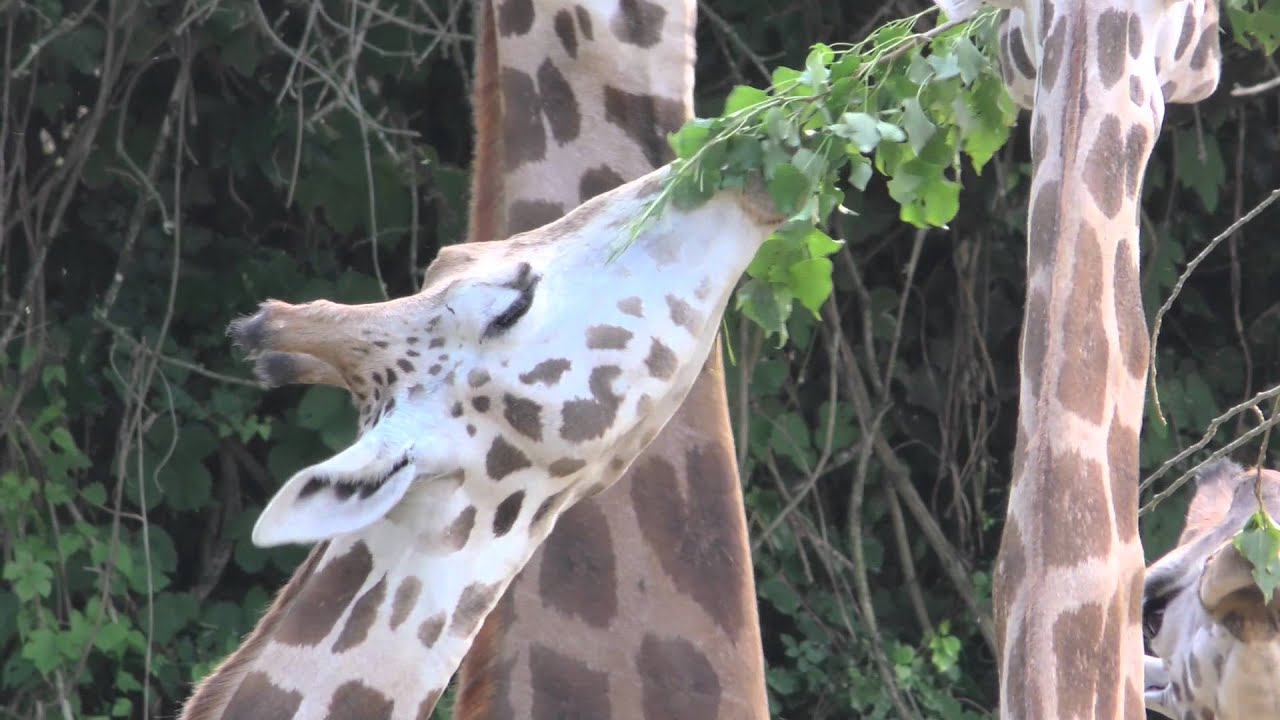 World Giraffe Day al Parco Natura Viva - YouTube