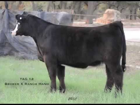 Lot 1- Tag 12 CRSC Cactus Rose Show Cattle
