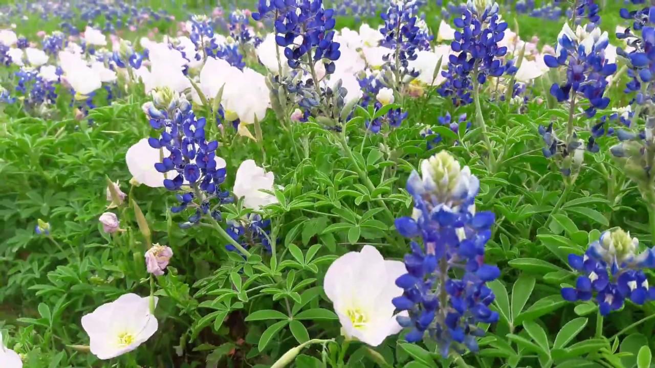Texas Bluebonnet Flowers 2017 Arlington Texas3 Youtube
