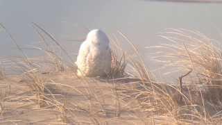 Snowy Owls - Sussex County, DE