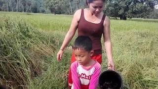 Catch snail and Crab at field country side at Kampong Chhnang