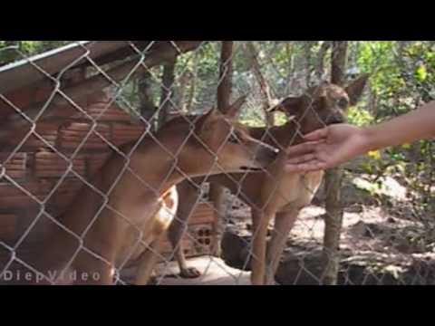 Phuquoc Ridgeback Dogs