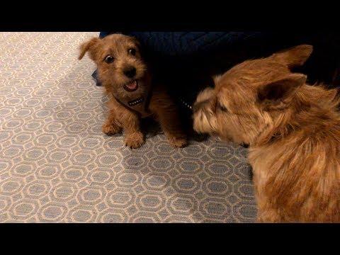 Norfolk Terrier Jaxson Won't Quit