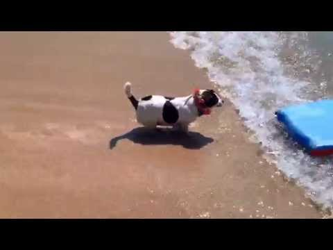 Dog surfing in Waikiki  Bali Hawaii