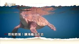 【即刻救援 讓海龜活下去】2018.07.27 華視新聞雜誌預告
