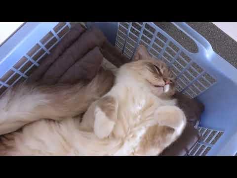 Ragdoll cat Casper sleeping like a stiff stuffed mummy - he is alive (short clip)