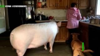 Подложили свинью: купленный канадской парой мини-пиг вырос до трёх центнеров