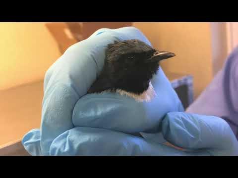 Songbird Releases