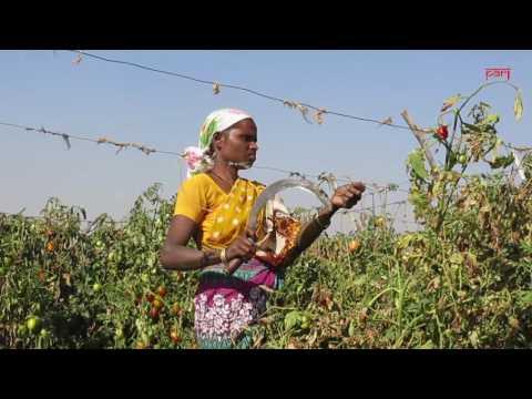 Notebandi takes the sauce out of Nashik's tomatoes - YouTube