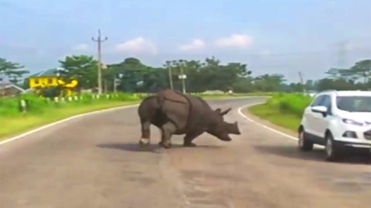 Rhino Caught Attacking Cars