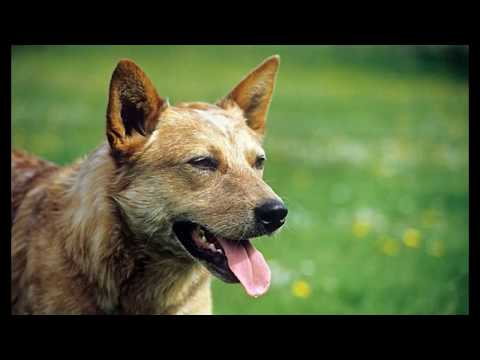 Australian Cattle Dog   Top 10 Interesting Facts